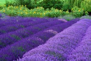 Purple-Haze-Lavender-Farm-Washington